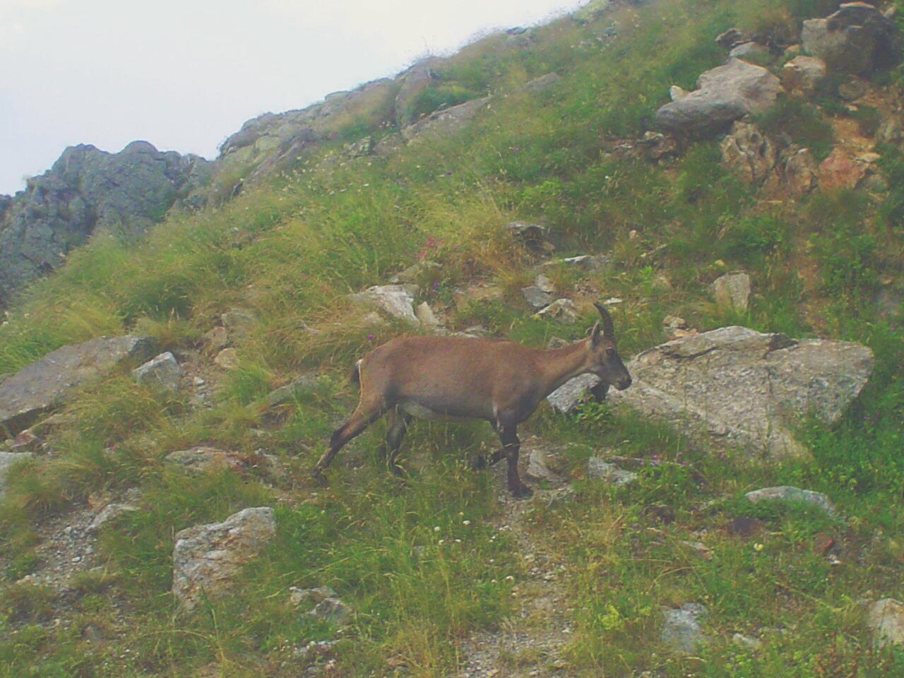 Goat at il rifugio Genova-Figari