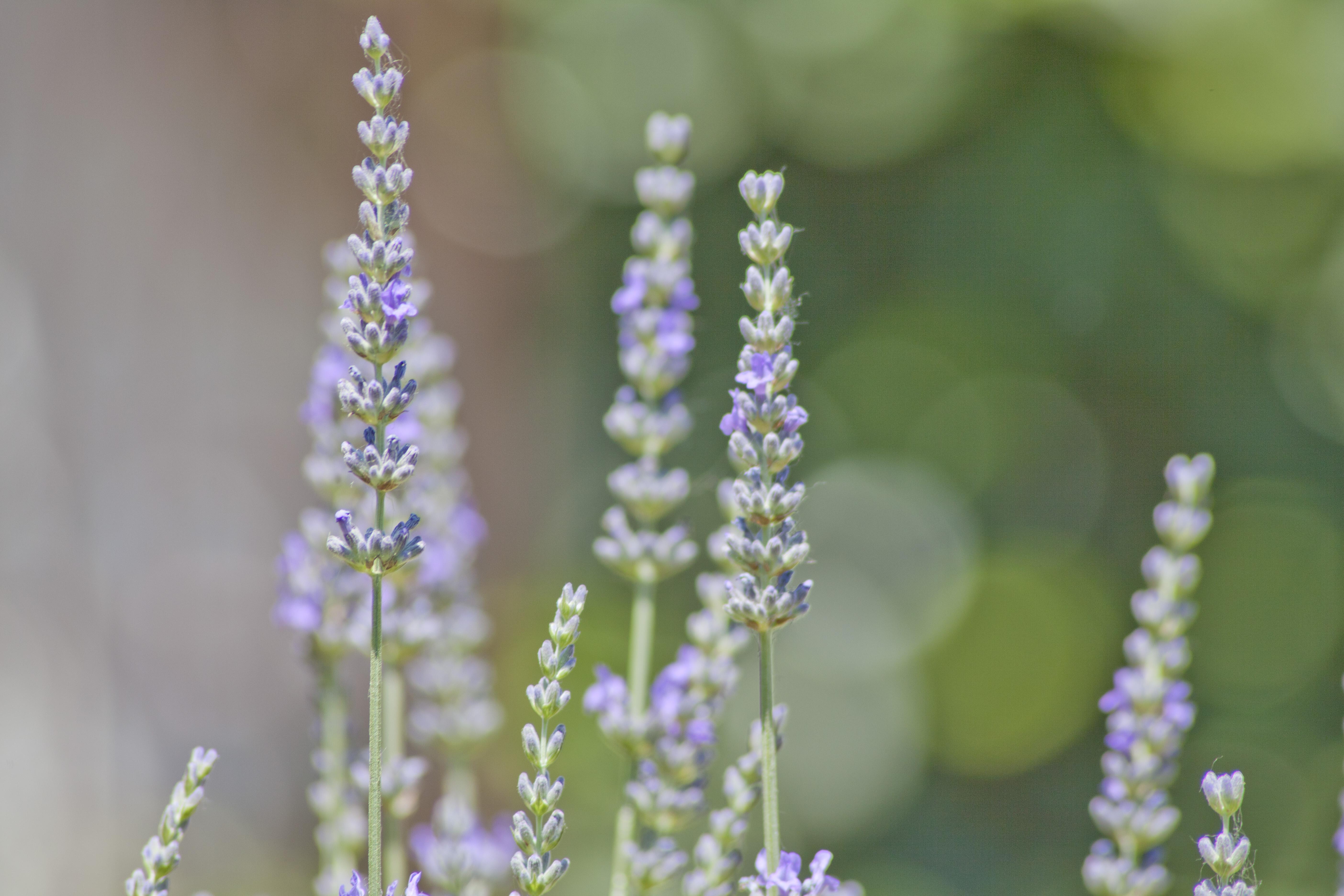 Lavender in Klenak, Serbia
