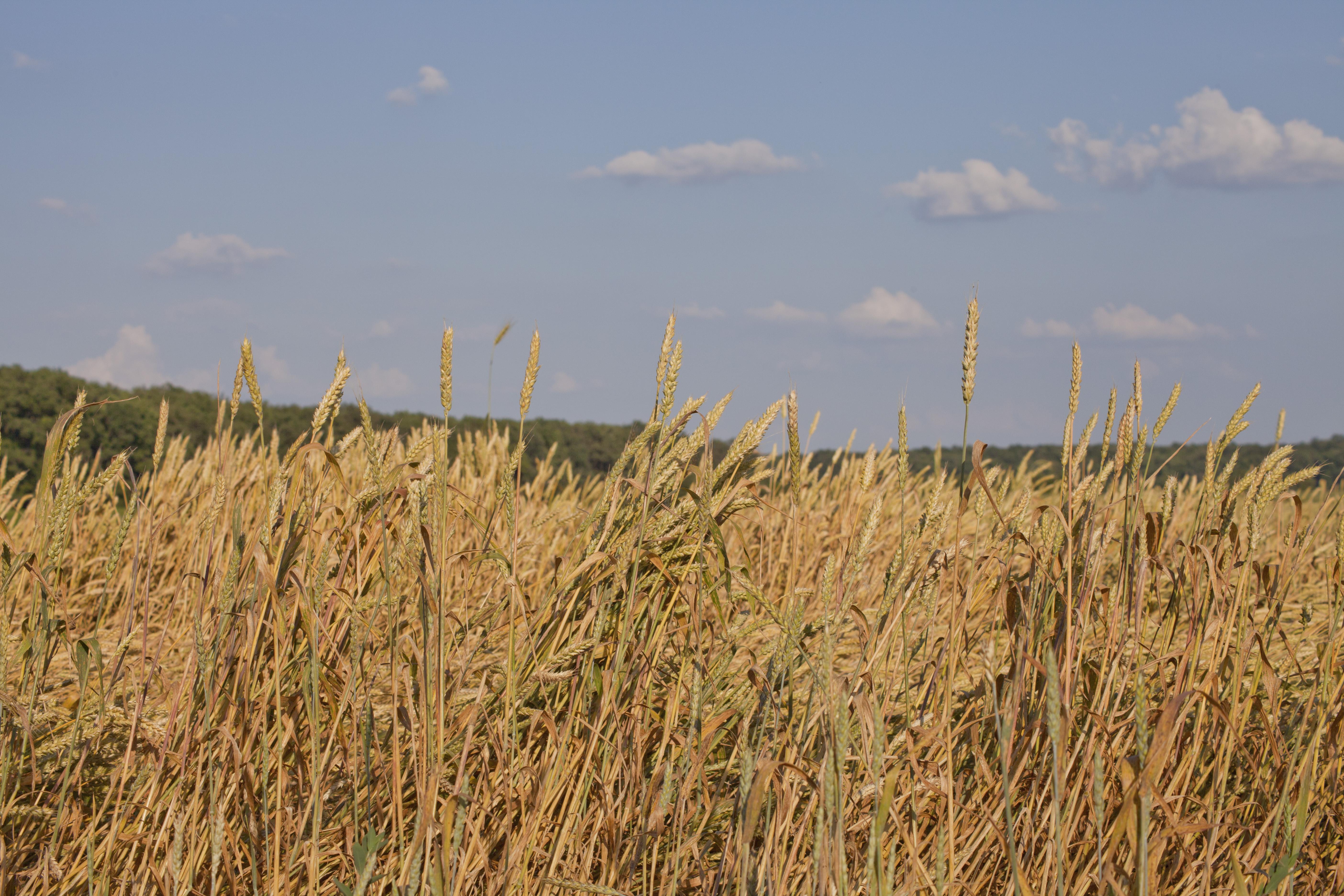 Klenak, Serbia Wheat Field