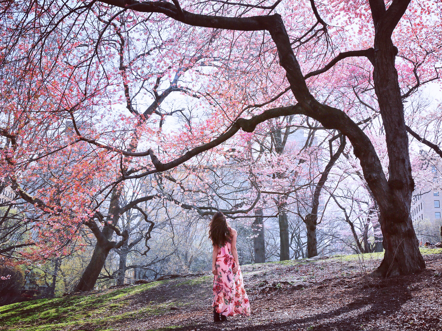 Cherry-Blossoms-in-Central-Park